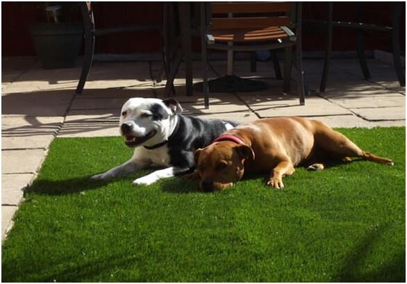 Làm sạch sân vườn sau khi vật nuôichơi đùa trên thảm cỏ 1