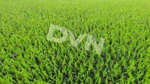 1. Tác động của thời tiết sẽ không làm ảnh hưởng tới chất lượng mặt cỏ nhân tạo 1
